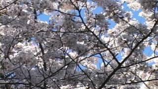 川崎の桜 等々力緑地公園