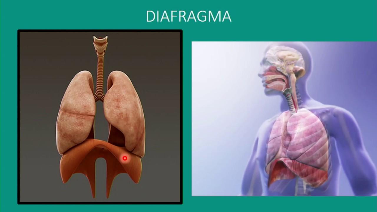 Respirasjon: Fysiologi del2