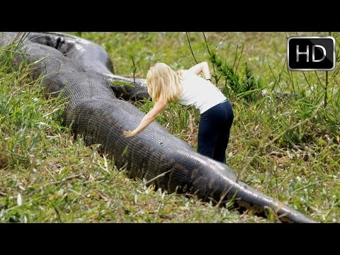 Largest Burmese python captured in Florida - National Geographic Documentary