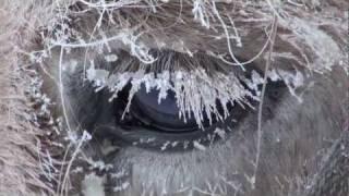 Yakutian Horses Who Never Freeze in Siberia Russia. Якутские лошади в Якутии
