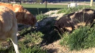 Grazing buddies(2 dogs and a piggy!)