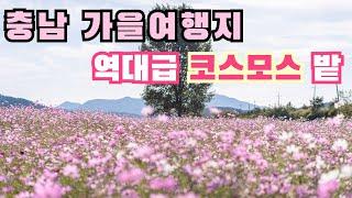 [국내 충남여행] 대전, 세종 근교 금산에도 역대급 코…
