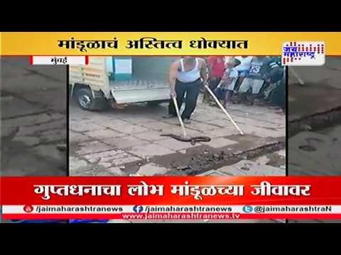 Mumbai rare mandul snake found