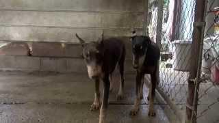 ドーベルマンの子犬です。 子犬の詳細は → http://www.angelwan.com/?ca...