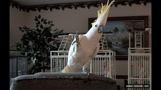 Смешные и талантливые попугаи ▶