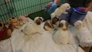 Coton Puppies For Sale 2/4/20
