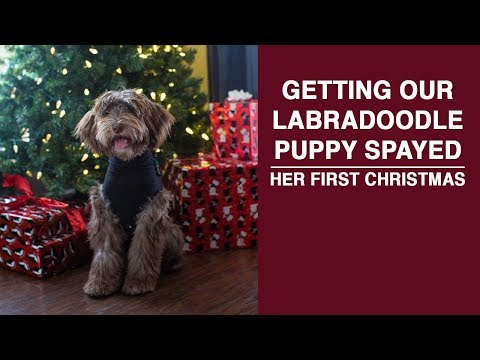 Getting Our Labradoodle Puppy Spayed   Puppy's First Christmas