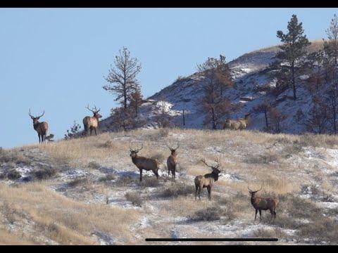 Late Season Montana Elk Hunt (Missouri River Breaks)