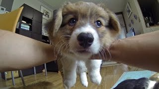 Cute Corgi Puppies Face / コーギー子犬の可愛いお顔 20150620 Part 10 Welsh Corgi Pembroke