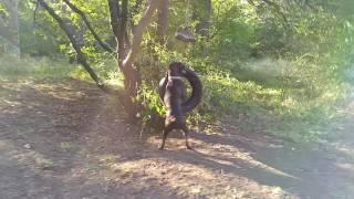 Собака боксер очень любит играть с колесом.
