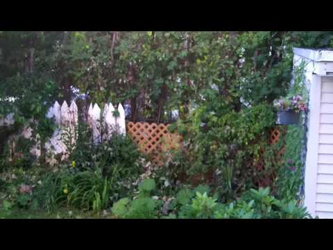Chinese Vietnamese American organic garden in Amer