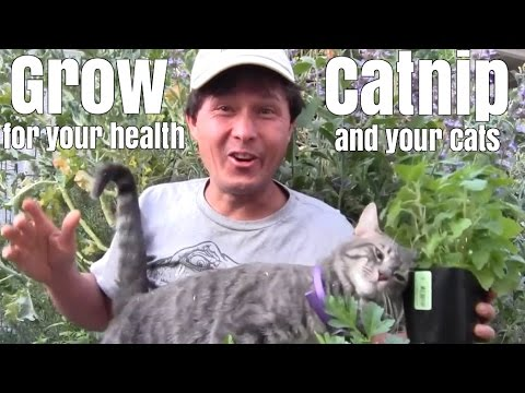 Grow Catnip Plants For Your Health And Your Cats