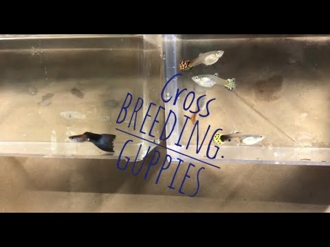 Breeding Guppies: Cross Breeding
