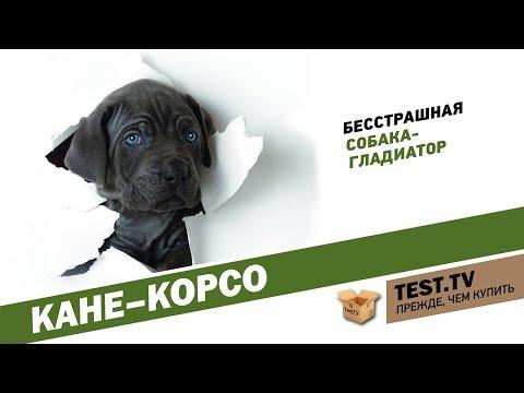 TEST.TV: Кане-корсо собака гладиатор.