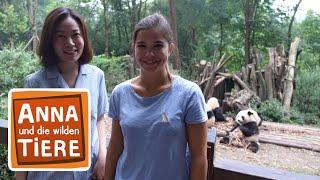 Wie angelt man sich einen Großen Panda? | (Doku) Reportage für Kinder | Anna und die wilden Tiere
