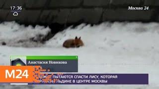 Смотреть видео Прохожие пытаются спасти лису, которая застряла на льдине в центре Москвы - Москва 24 онлайн