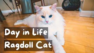 Un día en la vida de un gato Ragdoll | El mayordomo del gato