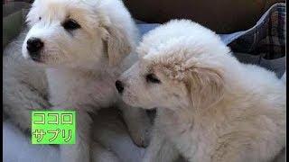チャンネル登録はこちら→https://goo.gl/cUgUX4 アメリカの動物管理局に...