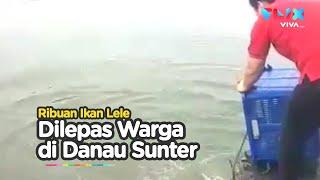 Lepas Ribuan Ikan Lele ke Danau Sunter, Alasannya: Ingin Buang Sial!