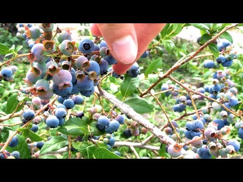 BLUEBERRY PICKING! | Conte Farms, Tabernacle, NJ