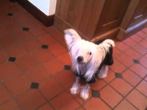 Rupert the Chinese Crested Howling!!!