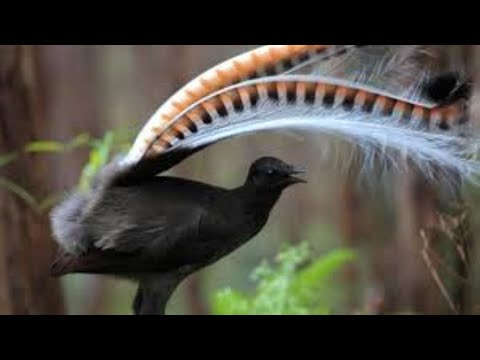 Amazing Bird Sounds From The Lyrebird Mimics Voices Native Sounds As Well