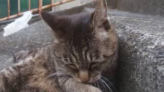 猫坂の野良猫たち1/8 くつろぐ加藤虎之娘 18年5月26日