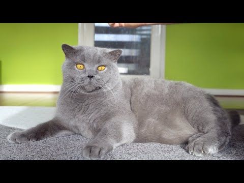 Blue British Shorthair – Brushing and Cleaning