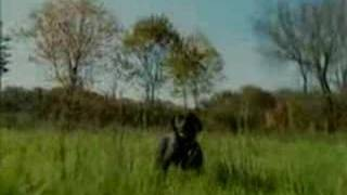 Upland Game Labrador Retriever Training