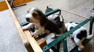 Beagle Kiskutyák