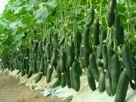 vegetable farming,  commercial tomato production,  hindi/urdu