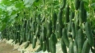 vegetable farming,  commercial tomato production,  hindi/urdu