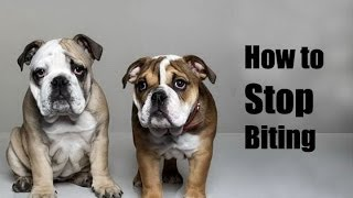 How To Train Bulldog : How To Stop English Bulldog Puppy From Biting