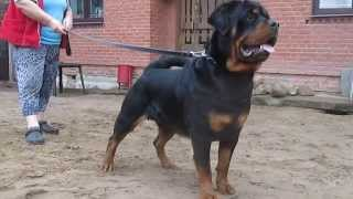 Rottweiler ( Multi- Champion)
