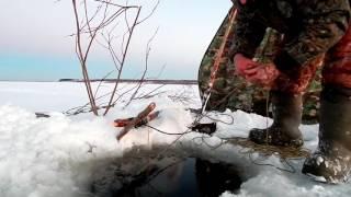 Рыбалка Налим(проверка перемёта)(Рыбалка на Севере,очередная проверка перемёта даёт результат,налим только отходит от летней болезни Всё..., 2016-10-27T05:57:26.000Z)