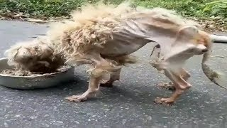 Amazing Transformation Of Starving Dog After Rescued Dog Res...
