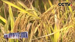 [中国新闻] 广东第一海水稻田丰收在望 | CCTV中文国际