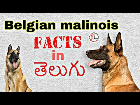 Belgian malinois Dog Facts in Telugu | Taju logics