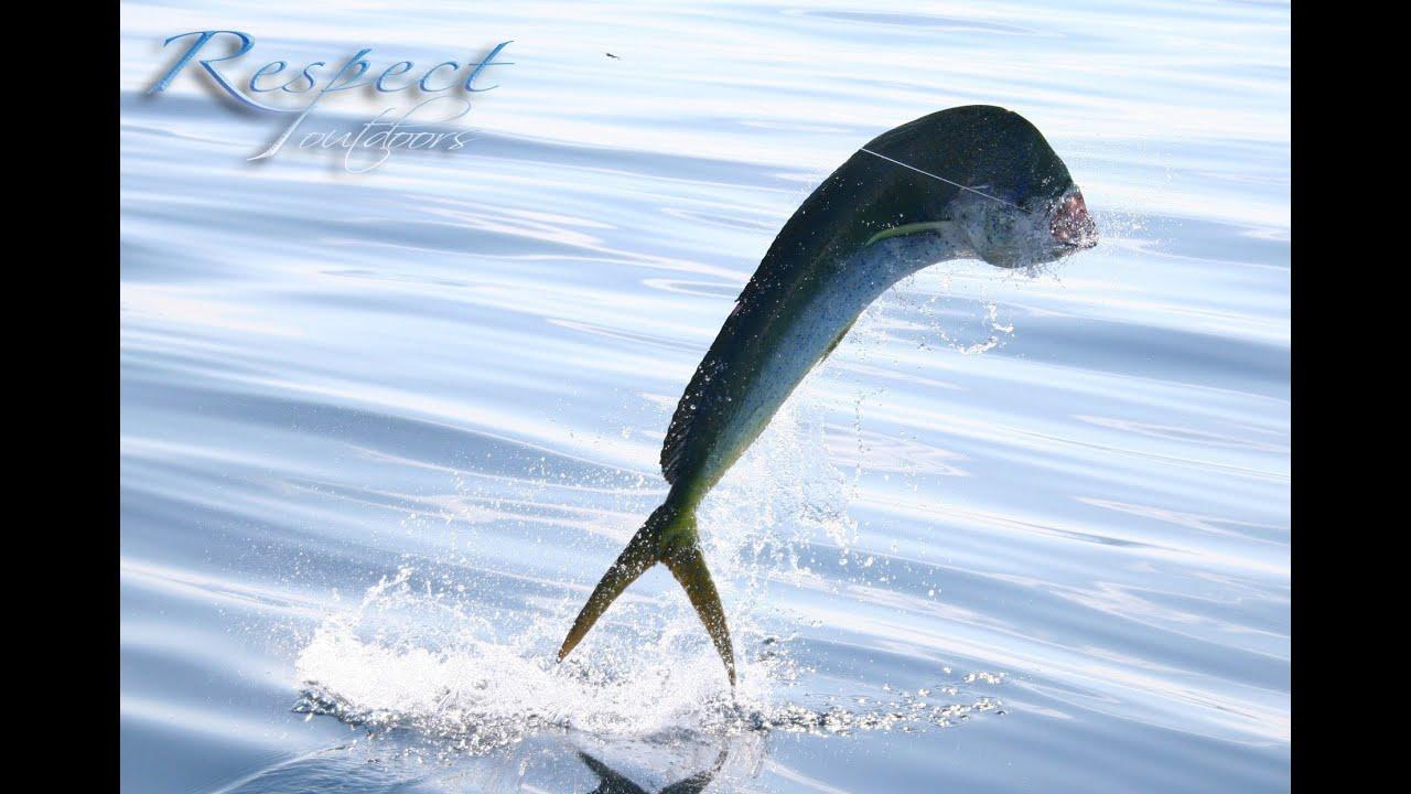 Dorado mahi mahi dolphin fish youtube for Is a dolphin a fish