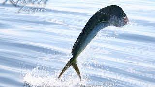Dorado, Mahi Mahi, Dolphin fish!