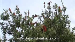 Bottlebrush - Butterfly Nectar Plant - Dozens of Butterflies