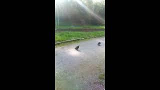 Брачный период у голубей!!! Асисяй любов))