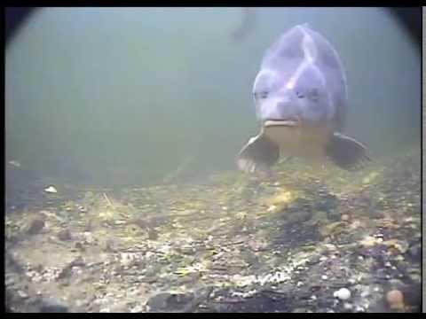 подводная съемка поклевки толстолоба