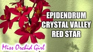 Epidendrum Crystal Valley Red Star orchid - in love yet?