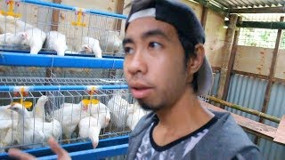Manok na Sungi - #offtopic #manoknaputi