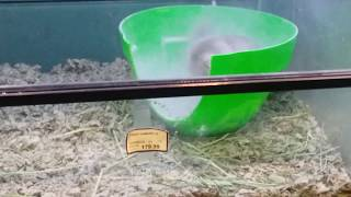 Chinchillas Dust Bath - Cute and Funny