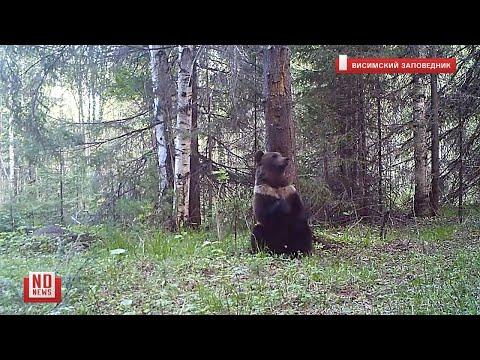 «Танцующий» медведь попал в кадр