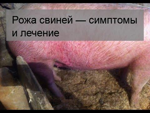 Фото рожа у свиней симптомы и лечение в домашних условиях