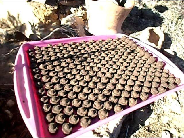 Tamahis caseros. Abono organico para bonsai
