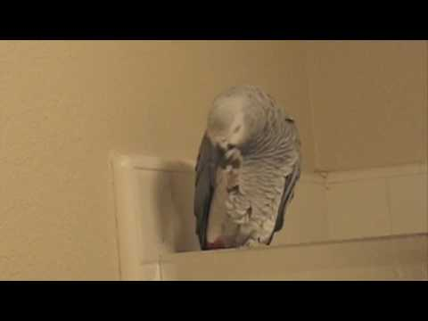 YoYo – Talking African Grey Parrot – Another Bathroom Practice